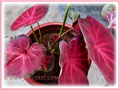 Newly potted Caladium 'Lucky Purple' that were propagated by division