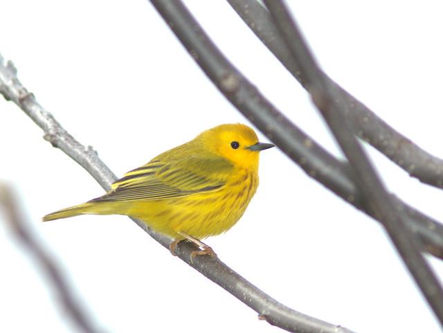 Yellow Warbler 07-20170503