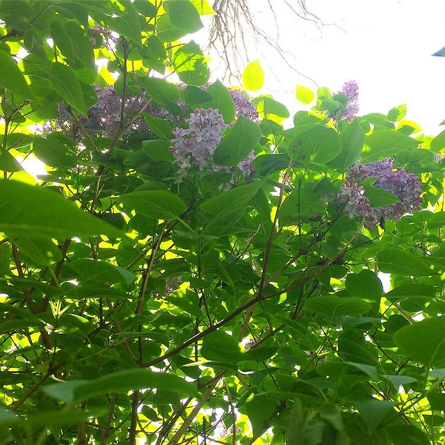The smell of lilacs is one of my favorite spring/summer scents.