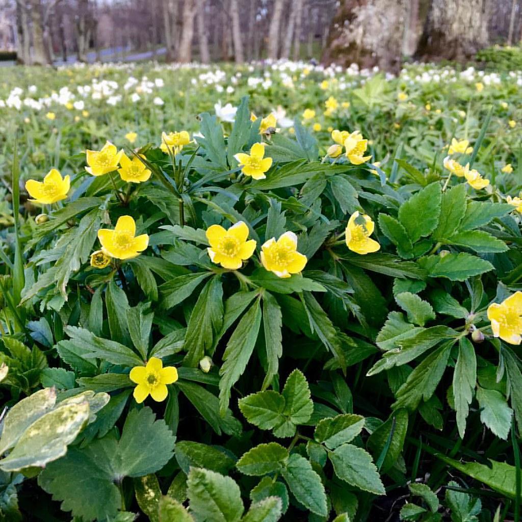 Yellow Anemone More Wild Spring Flowersjust Beautif Flickr