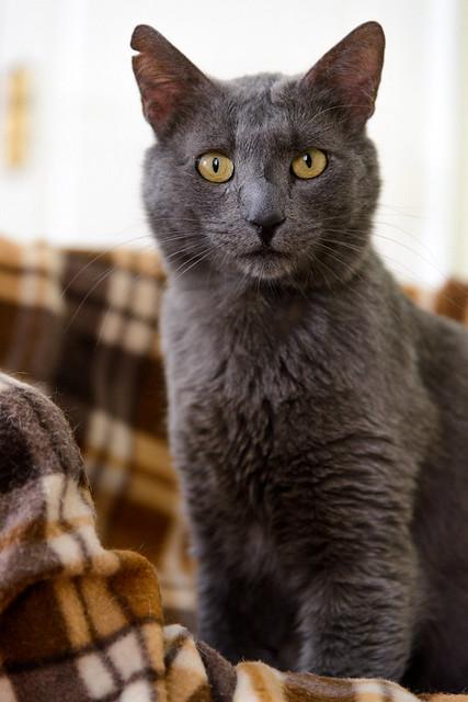Gris, gato Cruce con Cartujo tímido y tranquilo positivo a inmunodeficiencia nacido en Agosto´15, en ADOPCIÓN ESPECIAL. Valencia. 33902964783_7d0d53e281_z
