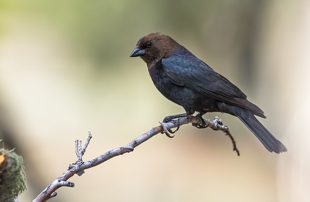 Brown-headed-Cowbird-18-7D2-051217