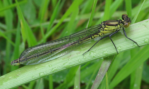 Red-eyed Damselfly Erythromma najas Tophill Low NR, East Yorkshire May 2017
