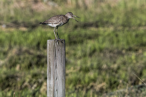 Big Egg: Chattering Willet