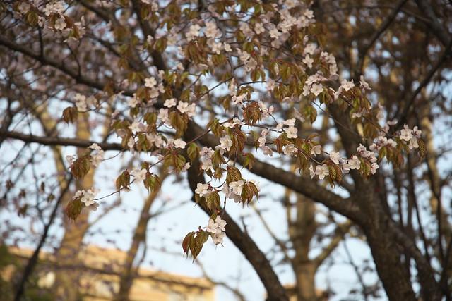 20170503札幌市中央区付近の桜_03