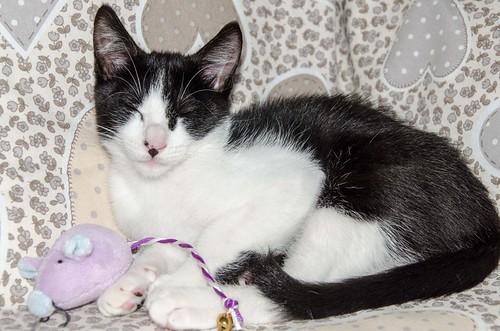 Cloud, gatito blanquinegro megadulce y guapo esterilizado, nacido en Enero´17, en adopción. Valencia. ADOPTADO. 34107019290_69740b6786