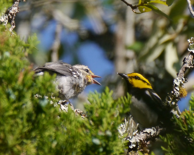 Golden-cheeked Warbler Fledgling and Parent