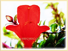 Captivating flower of Columnea scandens L. variegata (Goldfish Plant, Flying Goldfish Plant), 27 April 2017
