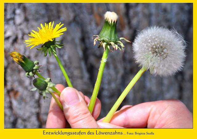 """Mai 2017: Eine Wiese voller Pusteblumen in Plankstadt bei Heidelberg hat mich zu Fotos und Gedicht-Collagen rund um das Thema """"Löwenzahn"""" bzw. """"Pusteblume"""" angeregt ... Fotos und Collagen: Brigitte Stolle, Mannheim"""