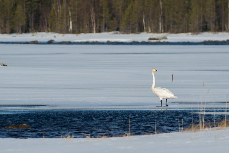 The Whooper Swan, Cygnus cygnus
