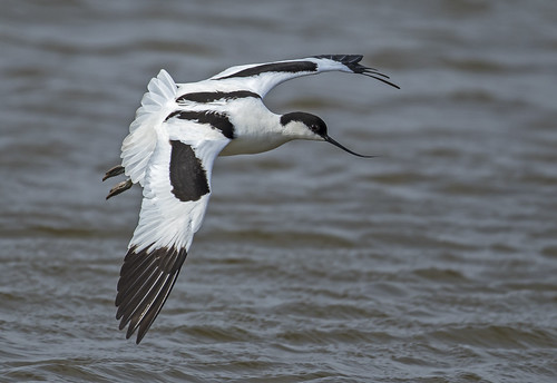 Avocet - Close fly-by