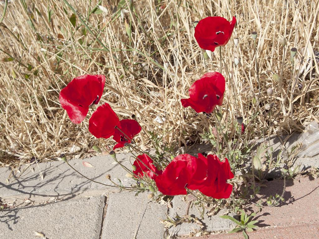 Poppy Flowers On A Dry Background Zeevveez Flickr