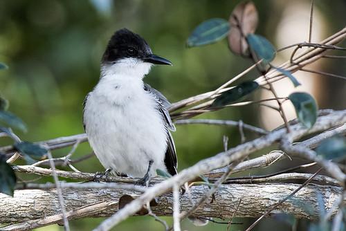 cuba.belen.loggerhead kingbird.6972
