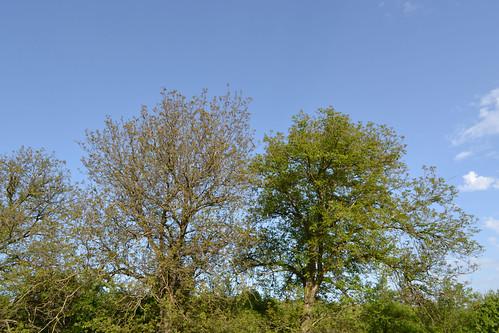 , Walnut treee