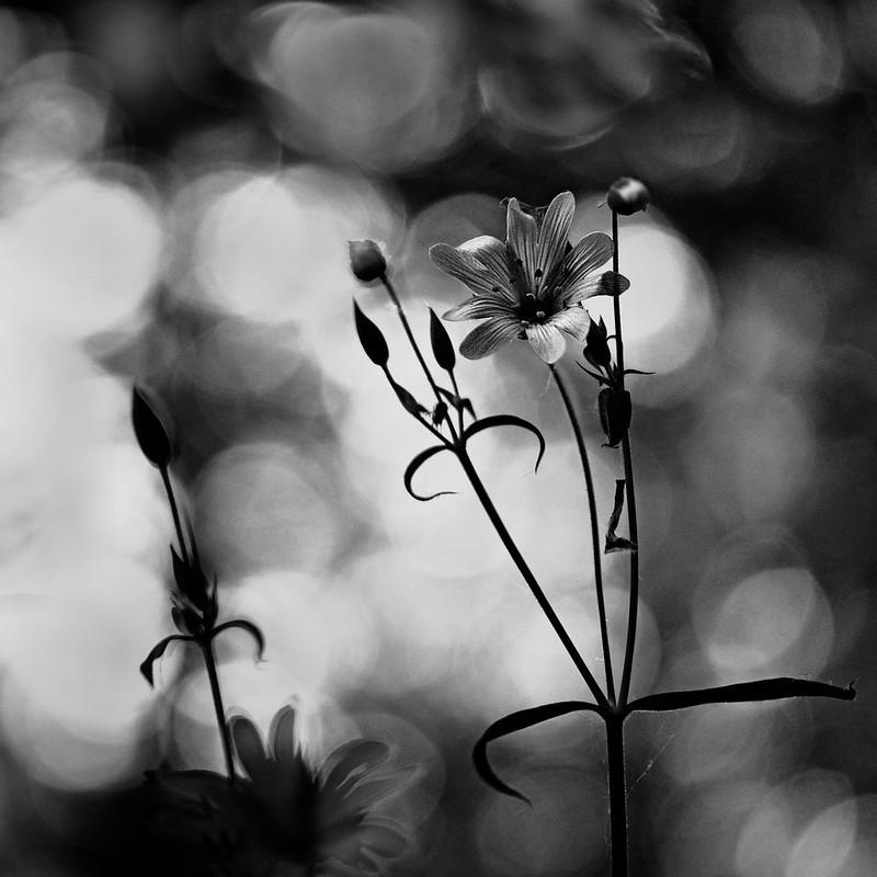 Sombre fleur. 34538929005_ba2b051e0e_c