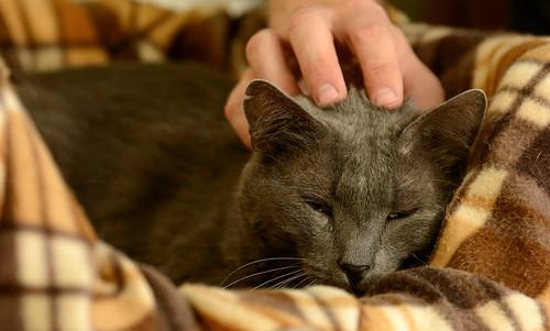 Gris, gato Cruce con Cartujo tímido y tranquilo positivo a inmunodeficiencia nacido en Agosto´15, en ADOPCIÓN ESPECIAL. Valencia. 34672170866_abc442f5fa
