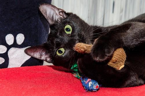 Morgana, gatita negra monísima, juguetona y tímida esterilizada, nacida en Julio´16, en adopción. Valencia. ADOPTADA. 34712586625_cffafac1cb