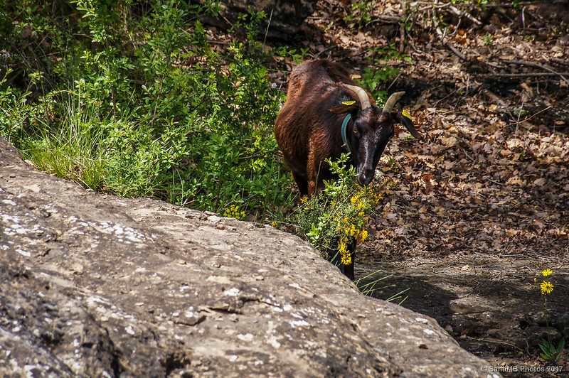 Una cabra en la Gola de les Heures