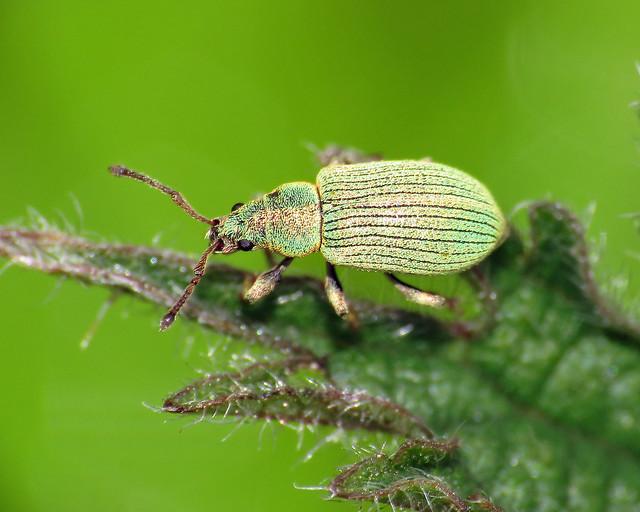 Small Green Nettle Weevil - Phyllobius roboretanus