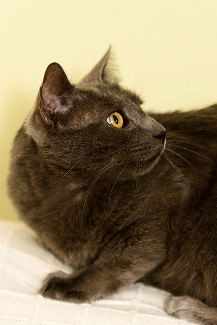 Gris, gato Cruce con Cartujo tímido y tranquilo positivo a inmunodeficiencia nacido en Agosto´15, en ADOPCIÓN ESPECIAL. Valencia. 33870248374_edf0506043_z
