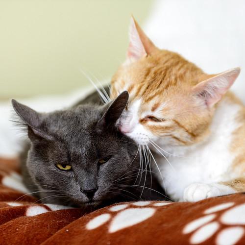 Robin, gato blanco y naranja guapo y súper dulce esterilizado, +inmunodeficiencia nacido en Marzo´15, en ADOPCIÓN ESPECIAL. Valencia. ADOPTADO. 33870301694_6dfe6221e4