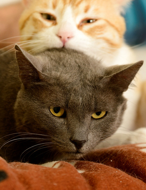 Gris, gato Cruce con Cartujo tímido y tranquilo positivo a inmunodeficiencia nacido en Agosto´15, en ADOPCIÓN ESPECIAL. Valencia. 33902961723_437b5df993_z
