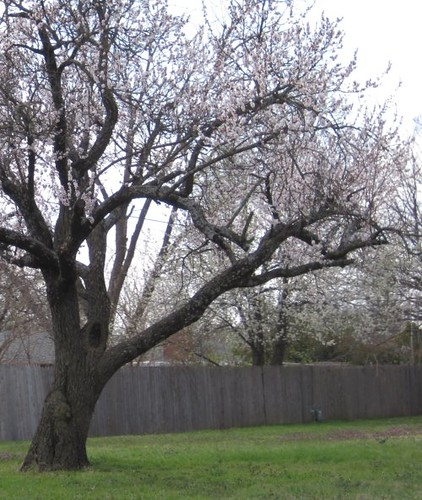 large_cherry_tree_2010