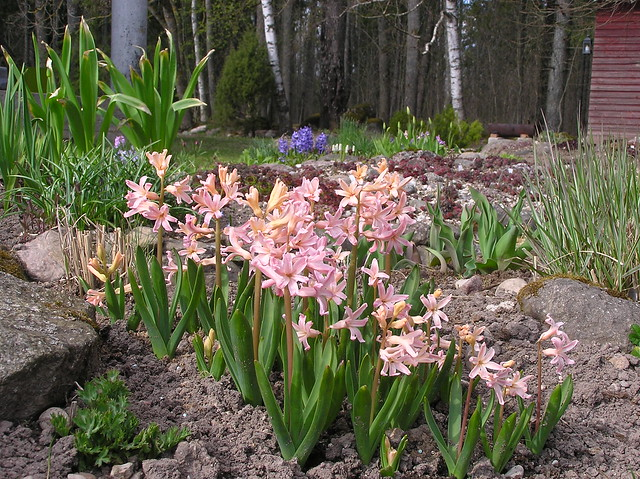 Hyacinthus orientalis 'Gipsy Queen'