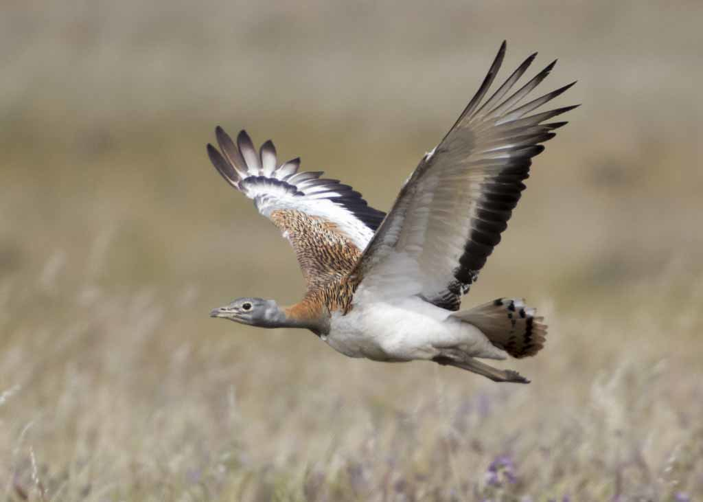 Great Bustard   Otis tarda
