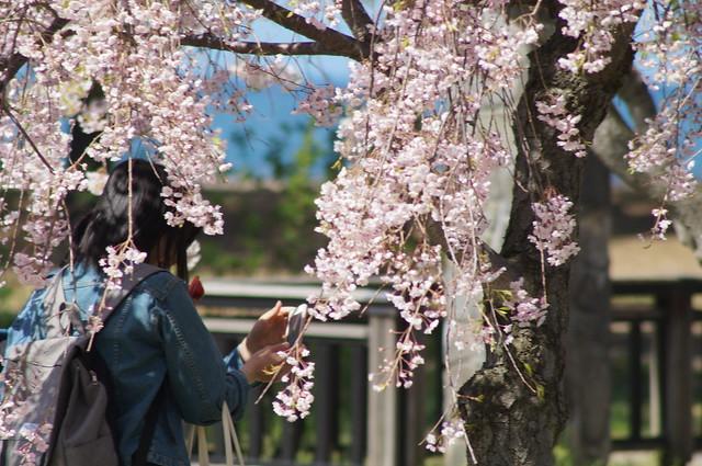 今年の桜6 α57 + 100-300mm F4.5-5.6