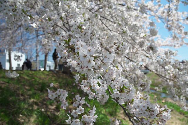 20170504新川さくら並木の桜_08