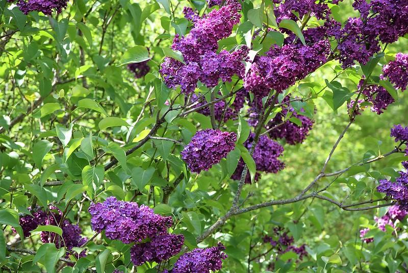Lilac 29.04 (1)