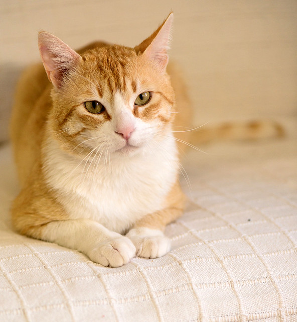 Robin, gato blanco y naranja guapo y súper dulce esterilizado, +inmunodeficiencia nacido en Marzo´15, en ADOPCIÓN ESPECIAL. Valencia. ADOPTADO. 34328276510_80d759120b_z