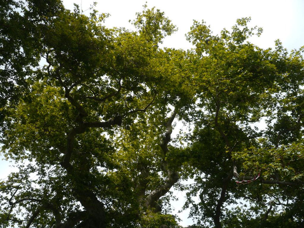 krasi/Κράσι, crète, grèce: le plus vieil arbre de grèce (p… | flickr