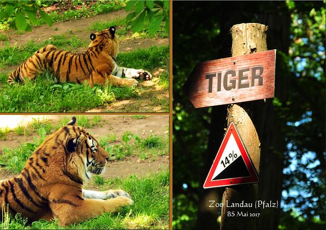 Mai 2017 ... Zoo Landau in der Pfalz ... Sibirische Tiger in der ehemaligen Bärenanlage ... Fotos: Brigitte Stolle, Mannheim