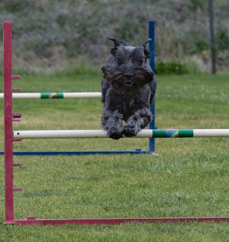 dog_agility_20170507_211