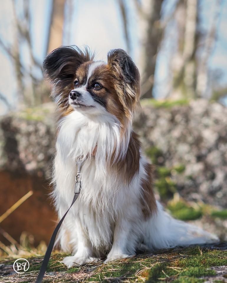 koirakuvaus-kuopio-lemmikkikuvaus-bellaphoto-7