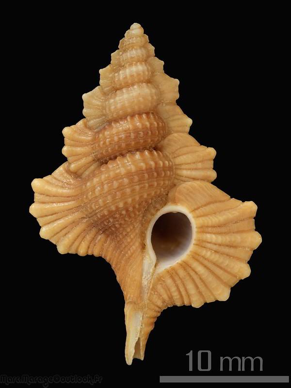 Cymatiidae Gyrineum pulchellum - (G. B. Sowerby I, 1825)  34456872962_d65b70008f_c