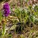 Orquídia tacada | Vall d'Eixerto | Pallars Sobirà