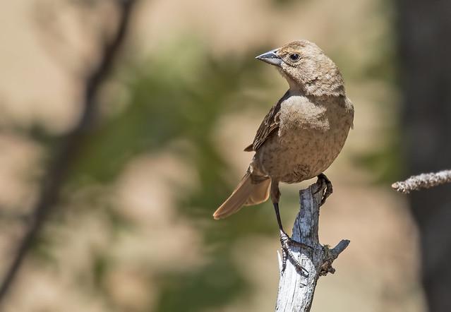 Female-Cowbird-14-7D2-051217