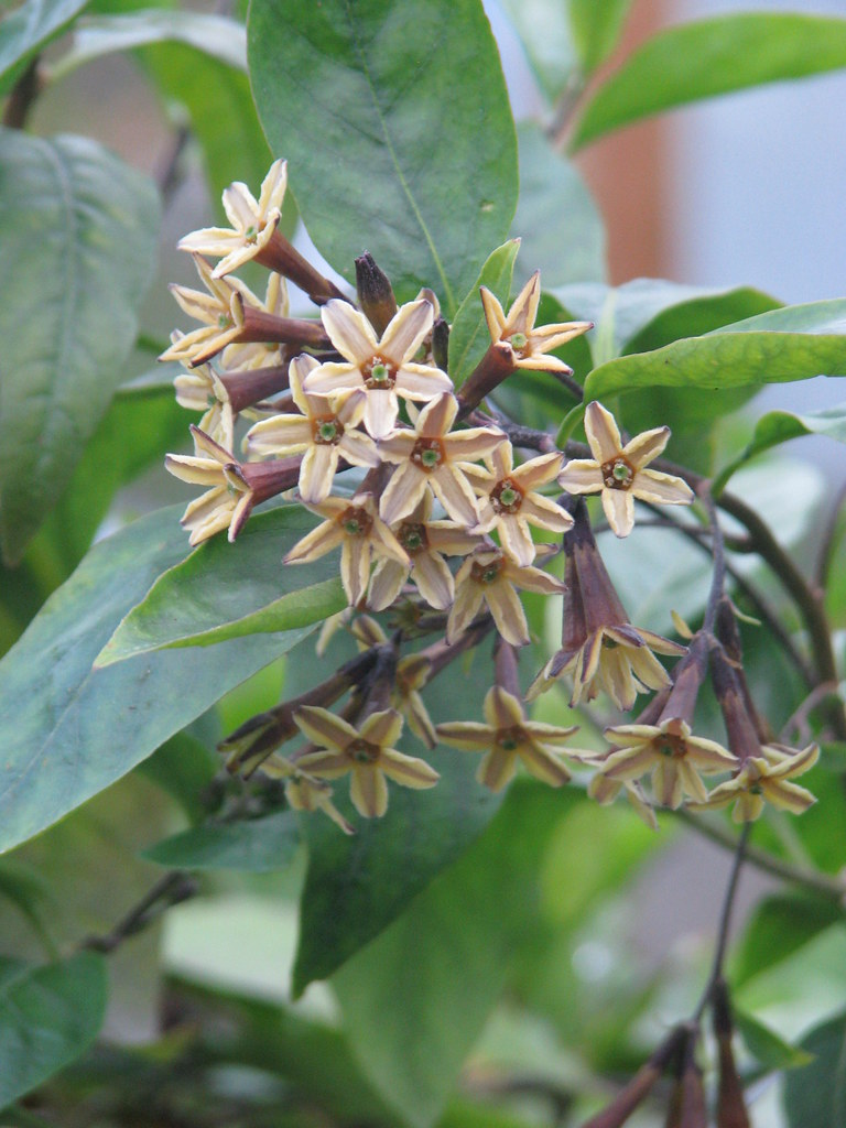 Cestrum aff. parqui purple