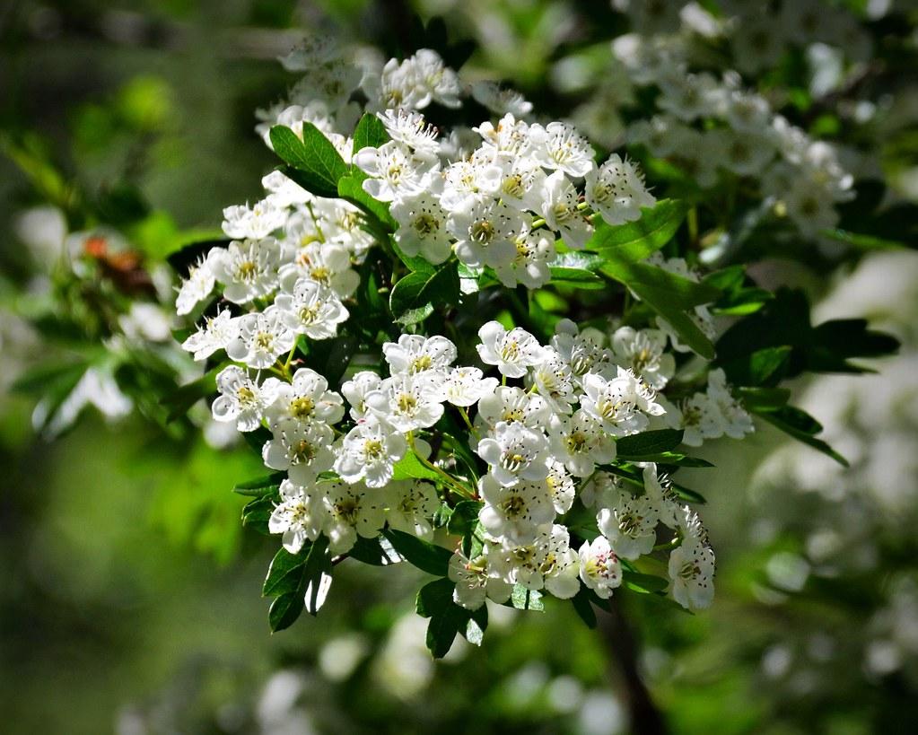 White Hawthorn Blossoms 5 16 2017 White Hawthorn Blossom C Flickr