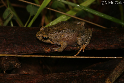 Victorian smooth frog (Geocrinia victoriana) | by Nick Gale