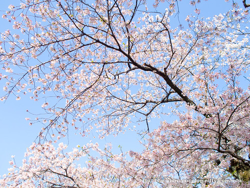 Cherry blossoms #14