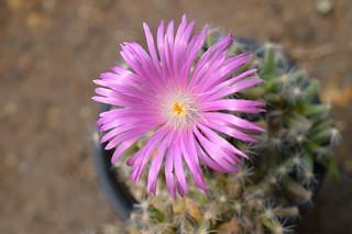 DSC_5592 Trichodiadema densum トリコディアデマ 紫晃星