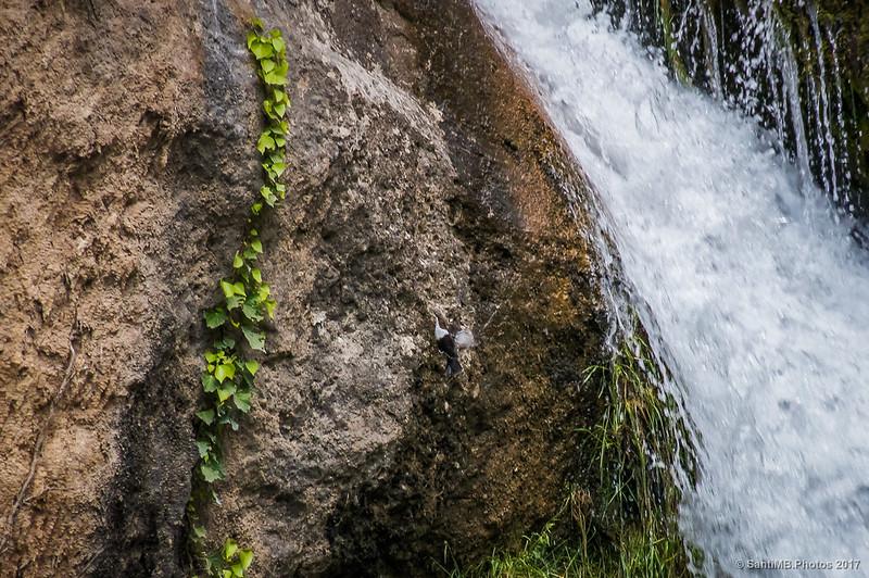 Mirlo acuático en el Gorg del Salt de Borredà