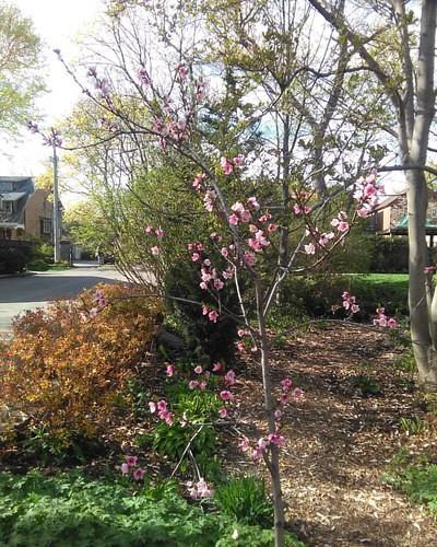 Sakura #toronto #wychwoodpark #latergram #cherryblossom #sakura