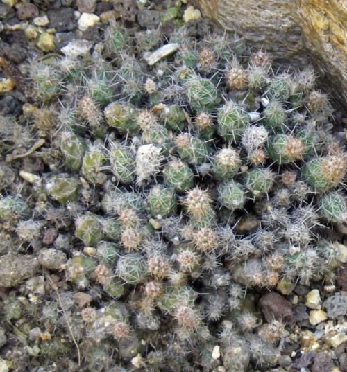 Corynopuntia bulbispina 33748861124_a1d18c774d_o