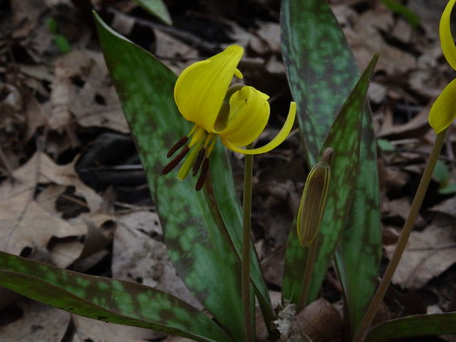 Trout Lily or Dog Toothed Violet