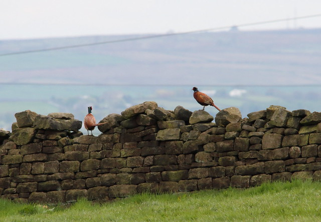 Male Pheasants